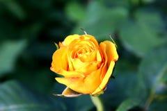 πορτοκαλής αυξήθηκε Στοκ φωτογραφίες με δικαίωμα ελεύθερης χρήσης