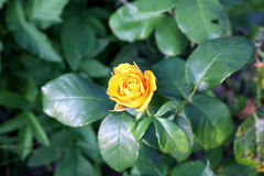πορτοκαλής αυξήθηκε Στοκ Φωτογραφίες