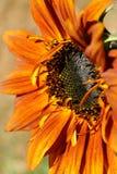 πορτοκαλής ηλίανθος στοκ φωτογραφίες