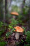 Πορτοκαλής-ΚΑΠ boletus, εδώδιμο μανιτάρι Στοκ εικόνα με δικαίωμα ελεύθερης χρήσης