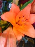 Πορτοκαλής κρίνος ροδάκινων Στοκ Φωτογραφίες