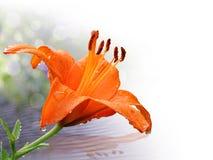 Πορτοκαλής κρίνος στην κινηματογράφηση σε πρώτο πλάνο με τις πτώσεις νερού Στοκ εικόνα με δικαίωμα ελεύθερης χρήσης