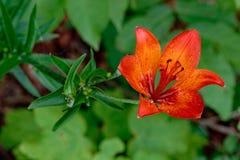 Πορτοκαλής κρίνος στις άγρια περιοχές Στοκ εικόνες με δικαίωμα ελεύθερης χρήσης