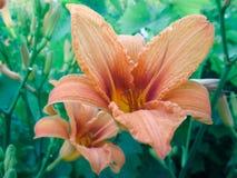 Πορτοκαλής κρίνος στους μίσχους στον κήπο Στοκ Εικόνα