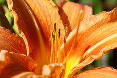 Πορτοκαλής κρίνος στοκ εικόνα
