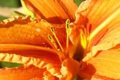 Πορτοκαλής κρίνος Στοκ εικόνα με δικαίωμα ελεύθερης χρήσης