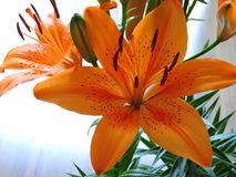 Πορτοκαλής κρίνος - Lilium Bulbiferum στοκ φωτογραφία με δικαίωμα ελεύθερης χρήσης