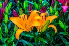 Πορτοκαλής κρίνος stargazer Στοκ φωτογραφία με δικαίωμα ελεύθερης χρήσης