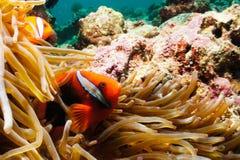 Πορτοκαλής κλόουν Anemonefish Στοκ φωτογραφίες με δικαίωμα ελεύθερης χρήσης