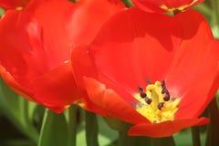 Πορτοκαλής πανικός 11 τουλιπών Στοκ φωτογραφία με δικαίωμα ελεύθερης χρήσης