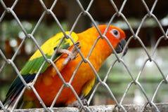Πορτοκαλής παπαγάλος χρώματος Στοκ εικόνα με δικαίωμα ελεύθερης χρήσης