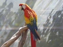 Πορτοκαλής παπαγάλος Στοκ Εικόνες