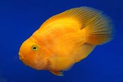 Πορτοκαλής παπαγάλος Cichlid Στοκ φωτογραφίες με δικαίωμα ελεύθερης χρήσης