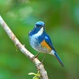 Πορτοκαλής-πλαισιωμένο πουλί του Μπους Robin στοκ φωτογραφίες