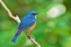 Πορτοκαλής-πλαισιωμένο πουλί του Μπους Robin στοκ εικόνα
