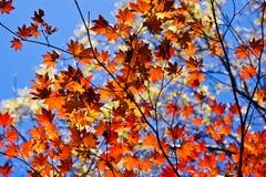 Πορτοκαλής σφένδαμνος φθινοπώρου Στοκ φωτογραφία με δικαίωμα ελεύθερης χρήσης