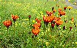 Πορτοκαλής τομέας wildflowers Στοκ Φωτογραφίες