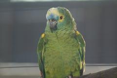 Πορτοκαλής-φτερωτός παπαγάλος του Αμαζονίου - amazonica Amazona Στοκ φωτογραφία με δικαίωμα ελεύθερης χρήσης