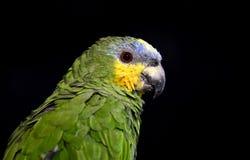 Πορτοκαλής-φτερωτός παπαγάλος Στοκ εικόνες με δικαίωμα ελεύθερης χρήσης
