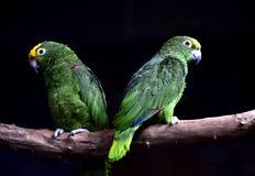 Πορτοκαλής-φτερωτός παπαγάλος Στοκ Εικόνα