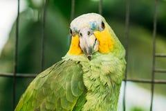 Πορτοκαλής-φτερωτό Αμαζόνιος ή Amazona Amazonica, γνωστό επίσης τοπικά όπως Στοκ φωτογραφία με δικαίωμα ελεύθερης χρήσης