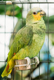 Πορτοκαλής-φτερωτό Αμαζόνιος ή Amazona Amazonica, επίσης γνωστό τοπικά ως πορτοκαλής-φτερωτός παπαγάλος και Loro Guaro Στοκ Φωτογραφία