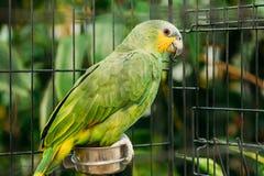 Πορτοκαλής-φτερωτό Αμαζόνιος ή Amazona Amazonica, επίσης γνωστό τοπικά ως πορτοκαλής-φτερωτός παπαγάλος και Loro Guaro Στοκ φωτογραφίες με δικαίωμα ελεύθερης χρήσης