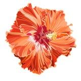 Πορτοκαλής hibiscus απλός που ζαρώνουν Στοκ εικόνα με δικαίωμα ελεύθερης χρήσης
