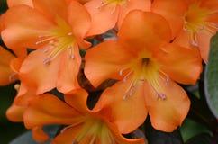 Πορτοκαλής Rhododendron επάνω-περίβολος ανθών λουλουδιών Στοκ Φωτογραφίες