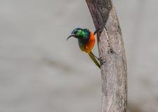 Πορτοκαλής-Sunbird (violacea Anthobaphes) Στοκ Εικόνες