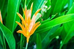 Πορτοκαλί άνθος λουλουδιών πουλιών του παραδείσου Στοκ Φωτογραφία