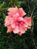 πορτοκαλί άνθος hibiscus των εγκαταστάσεων Στοκ Εικόνες
