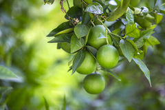πορτοκαλί δέντρο καρπών στοκ φωτογραφίες με δικαίωμα ελεύθερης χρήσης