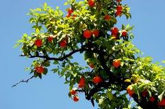 Πορτοκαλί δέντρο με τα φύλλα και τα πορτοκάλια κλάδων στον κήπο Στοκ φωτογραφίες με δικαίωμα ελεύθερης χρήσης