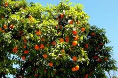 Πορτοκαλί δέντρο με τα φύλλα και τα πορτοκάλια κλάδων στον κήπο Στοκ Εικόνες