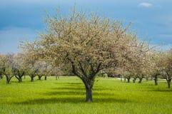 πορτοκαλί δέντρο φυλλώματος ανθών ανασκόπησης Στοκ Φωτογραφία