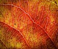 Πορτοκαλί δέντρο φύλλων φθινοπώρου Στοκ Φωτογραφία