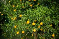 Πορτοκαλί δέντρο Στοκ Φωτογραφίες