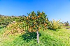 Πορτοκαλί δέντρο Στοκ Εικόνες