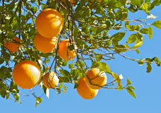 Πορτοκαλί δέντρο, orangenbaum Στοκ Φωτογραφίες