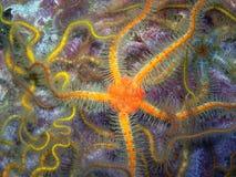 Πορτοκαλί ακανθωτό εύθραυστο αστέρι Στοκ Εικόνες