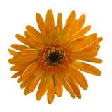 Πορτοκαλί απομονωμένο λουλούδια υπόβαθρο gerbera Στοκ Εικόνα