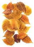 Πορτοκαλί, κίτρινο, κόκκινο φύλλο πτώσης ελαιοχρωμάτων το ξηρό του σμέουρου, σύρει Στοκ Εικόνες