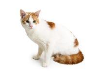 Πορτοκαλί και άσπρο γατάκι στο λευκό Στοκ Εικόνα