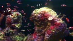 Πορτοκαλί και άσπρο ενυδρείο ψαριών κλόουν - όμορφα χρώματα απόθεμα βίντεο