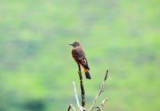 Πορτοκαλί και καφετί Songbird Στοκ Εικόνα