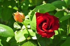 Πορτοκαλί και κόκκινο μπουμπούκι τριαντάφυλλου με τα leafes Στοκ φωτογραφία με δικαίωμα ελεύθερης χρήσης
