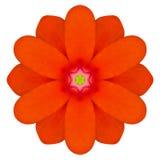 Πορτοκαλί καλειδοσκόπιο λουλουδιών Mandala Primrose που απομονώνεται Στοκ Φωτογραφία