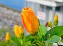 Πορτοκαλί κινεζικό Hibiscus λουλούδι Στοκ φωτογραφία με δικαίωμα ελεύθερης χρήσης