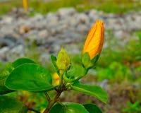Πορτοκαλί κινεζικό Hibiscus λουλούδι Στοκ εικόνες με δικαίωμα ελεύθερης χρήσης